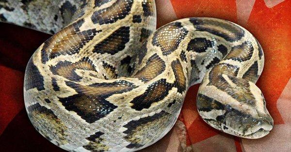 15-foot Python owner