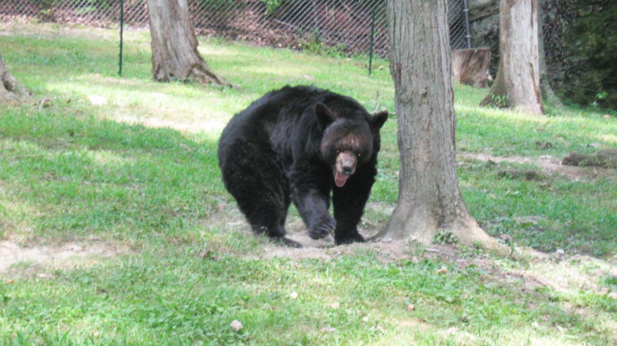 Murderous Bear on the Loose in West Virginia